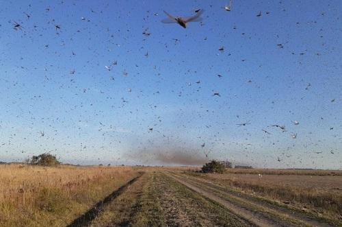 Fronteira: Ministério da Agricultura monitora nuvem de gafanhotos que invadiu Argentina