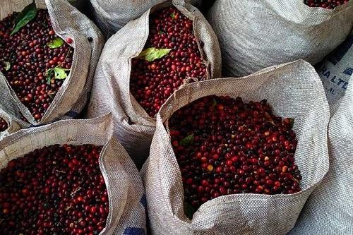 Produção de café deve chegar a pouco mais de 4 milhões de sacas no estado
