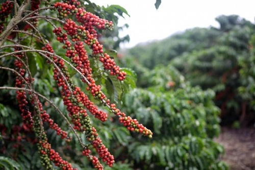 Cafés do Brasil produzirão 47 milhões de sacas em 2021